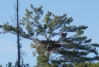 Both Eagles on nest...