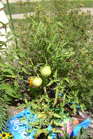 growing tomato in bag container
