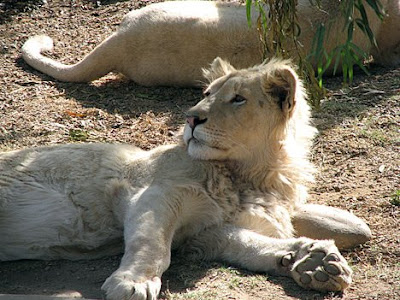 The white lion is not a separate