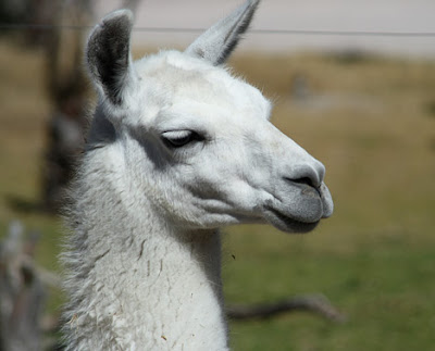 The llama is a South American camelid