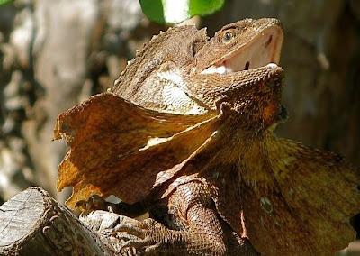 Dragon Lizard