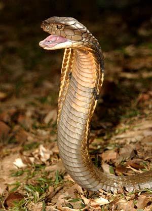 Korálovcovité hady - kobra a mamba