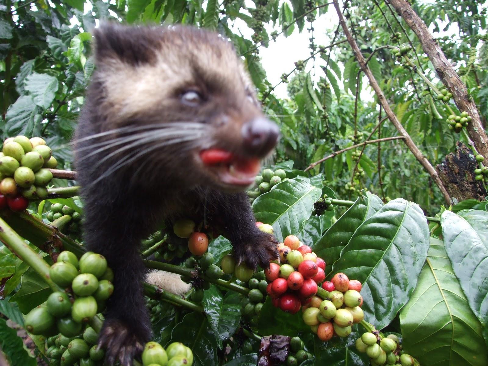 kopi luwak adalah kenikmatan cita rasa kopi indonesia yang telah ...