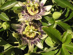 Flor de Mburucuyá