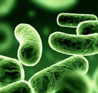 Lactobacillus casei shirota bakterien ostsee