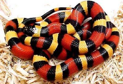 Serpiente Rey