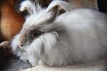 Lavender Angora Bunny ~ 'Laddy'