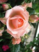 Rosa : Flor da Paz. Publicada por paivaazevedo à(s) 03:25. Etiquetas: Flores (rosa desafios)