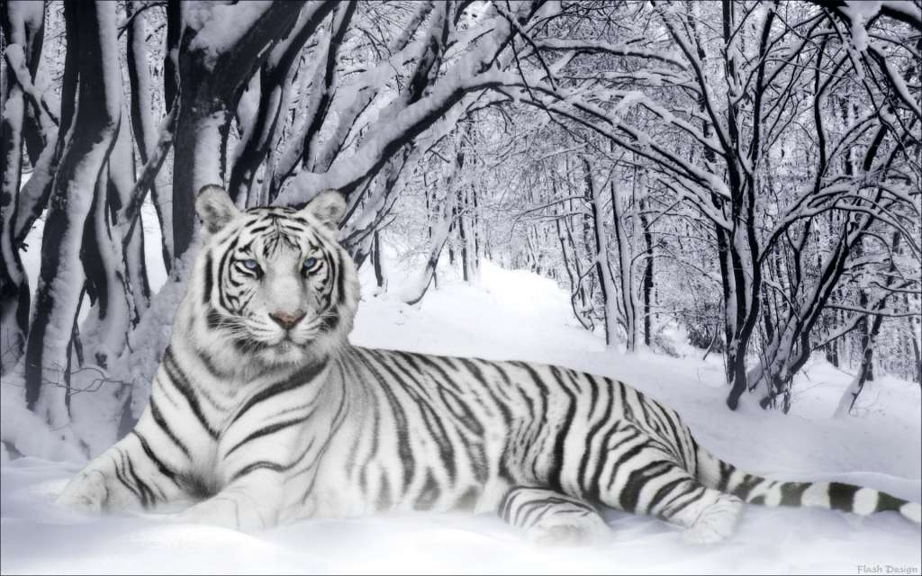 wallpaper white tiger. hairstyles white tiger