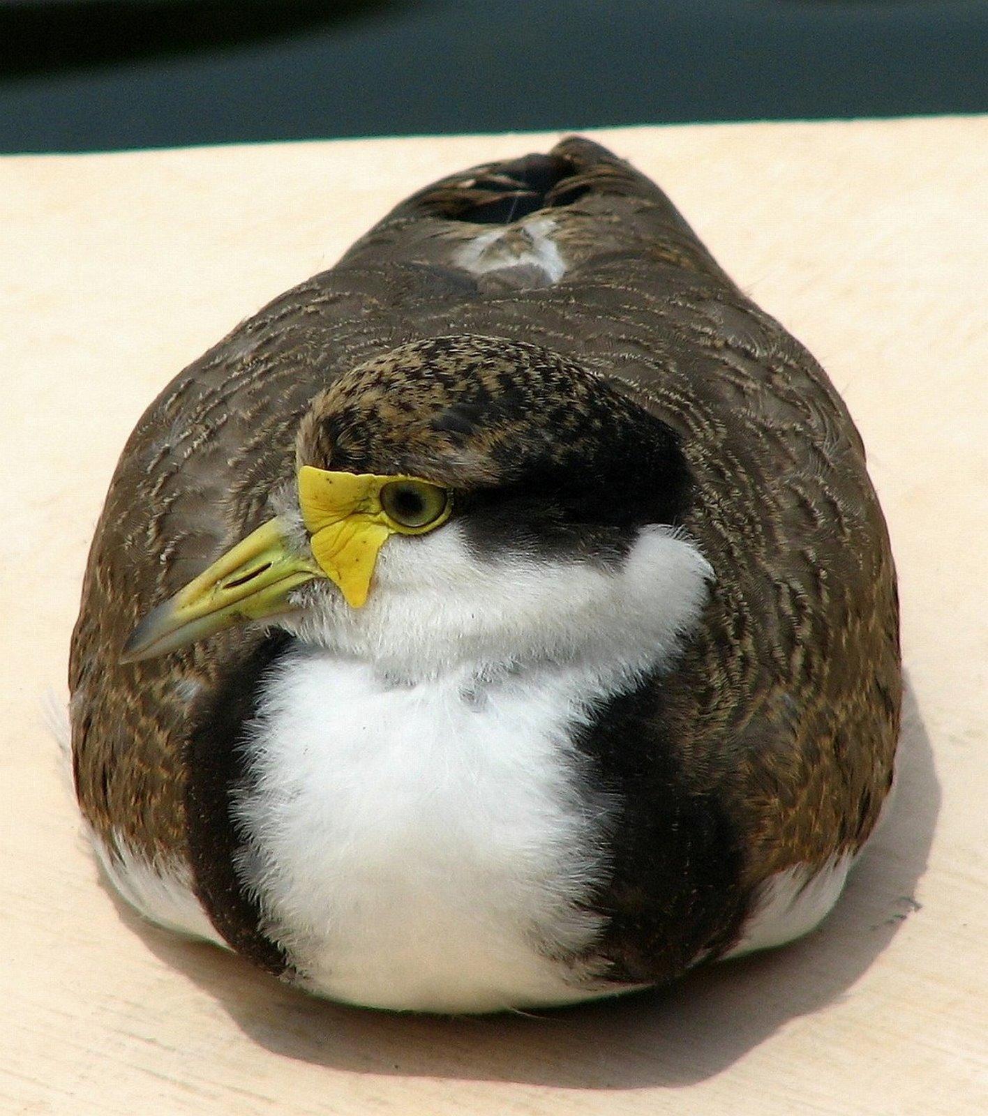 [Duck+Sydney+-+Botanical+Gardiens.jpg]