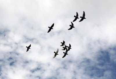 a flock of racing pigeons in flight above my back garden