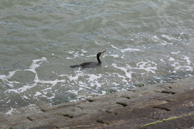 the fishing cormorant