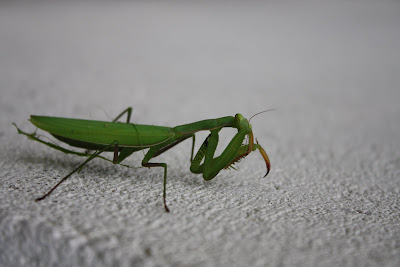 close up shot of a big, bright green praying mantis