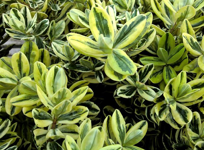 Hortus italicus hebe x andersonii 39 variegata 39 for Arbusti ad alberello
