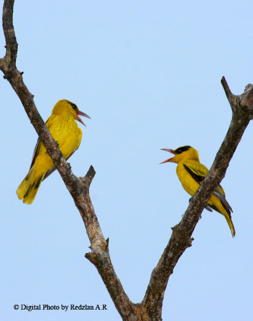 Oriole Couple