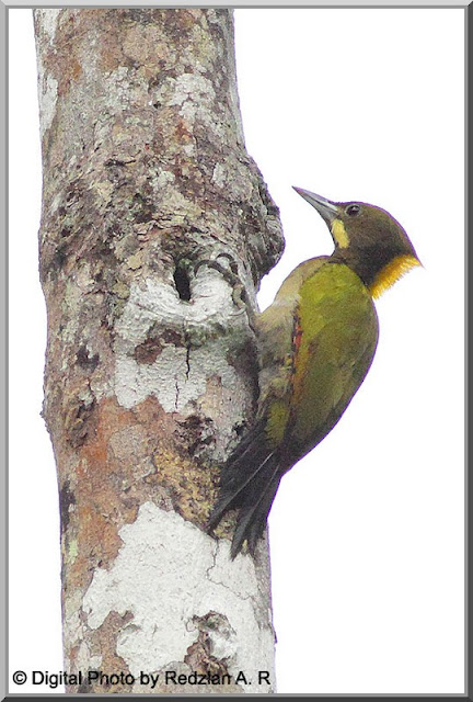 Greater Yellownape (Picus flanvinucha)
