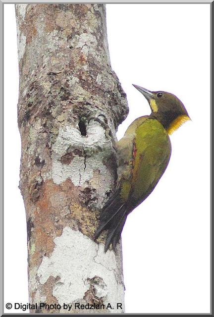 Greater Yellownape (Picus flanvinucha)