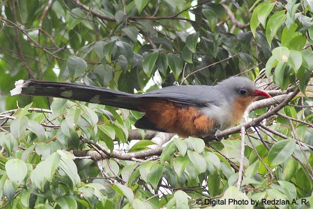 Red-billed Malkoha (Phaenicophaeus javanicus)