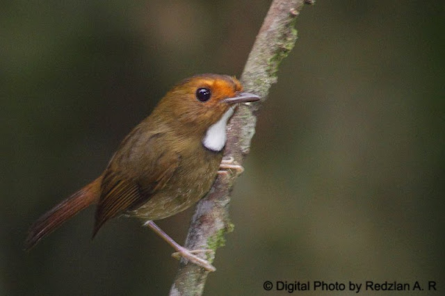 Rufous-browed Flycatcher (Ficedula solitaria)