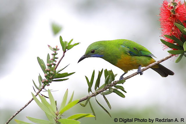 Leaf Bird - Burung Daun Perut Oren