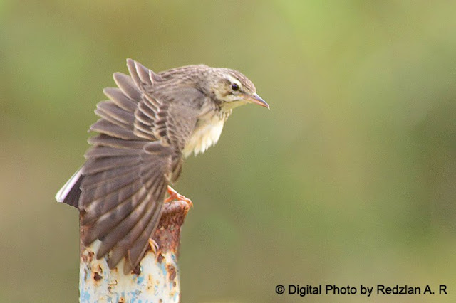 Paddyfield Pipit (Anthus rufulus)- preening