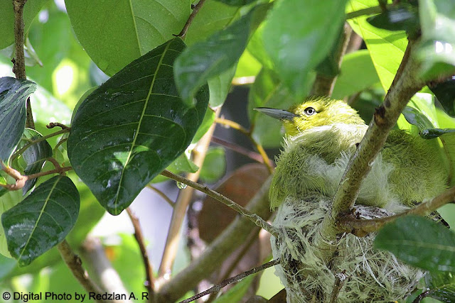 Common Iora Nest in the Rain