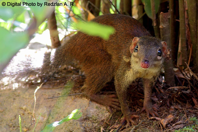 Common Tree Shrew