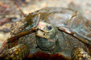 Kura-kura atau Lelabi