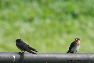 Pacific Swallow at Fraser's Hill International Bird Race - 2008