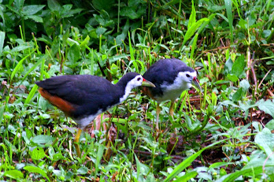 a couple of White-breasted Waterhen at Raub Malaysia