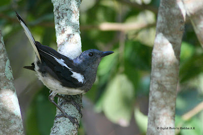 Female Magpie Robin at My Backyard in Raub Malaysia