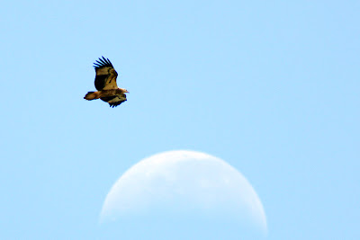 White-bellied Sea-Eagle (Haliaeetus leucogaster)over the moon at Kemasik Terengganu Malaysia