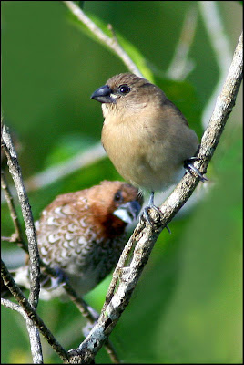 Juvenile Scaly-breasted Munia with adult