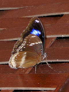 Male Blue Moon Butterfly on the shoe cupboard