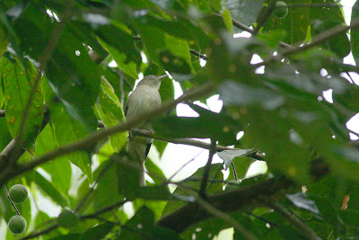 Jungle Bulbul Cream-vented Bulbul (Pycnonotus simplex)