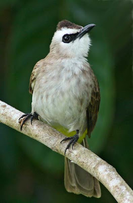 Yellow-vented Bulbul (Pycnonotus goiavier) Merbah kapor