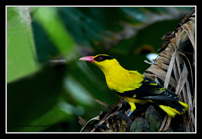 Black-Naped Oriole eating Banana