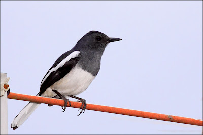 Oriental Magpie Robin