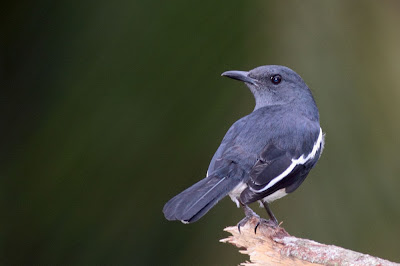 Oriental Magpie Robin win Canon EOS 50D