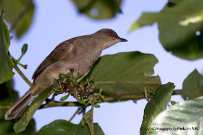 Red-eyed Bulbul (Pycnonotus brunneus)
