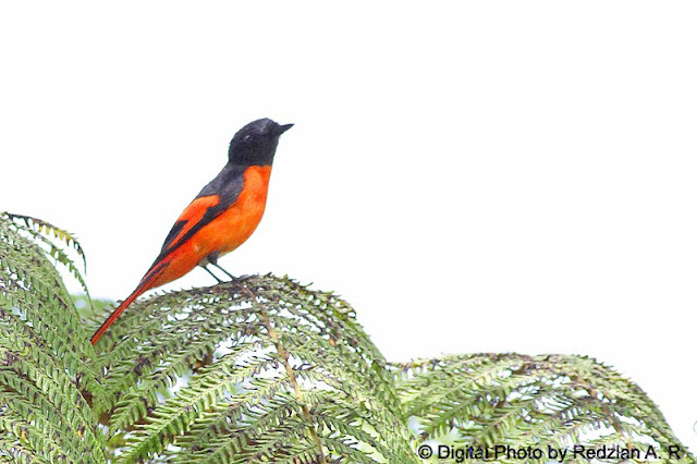 Grey-chin Minivet Male