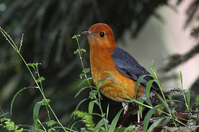 Orange-headed Thrush (Zoothera citrina)