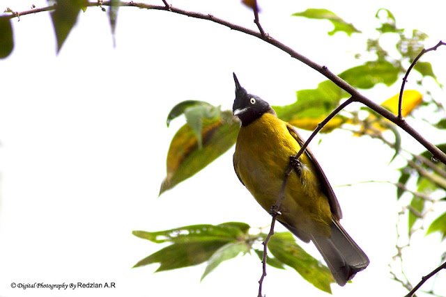 Black-crested Bulbul
