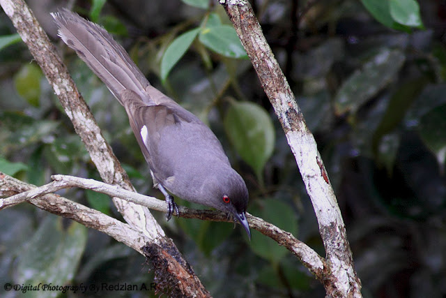 downloading pics of bird sibia wiki