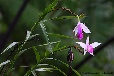Wild Orchids