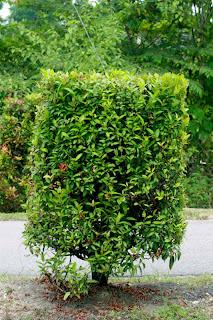 Bulbul Nesting Tree