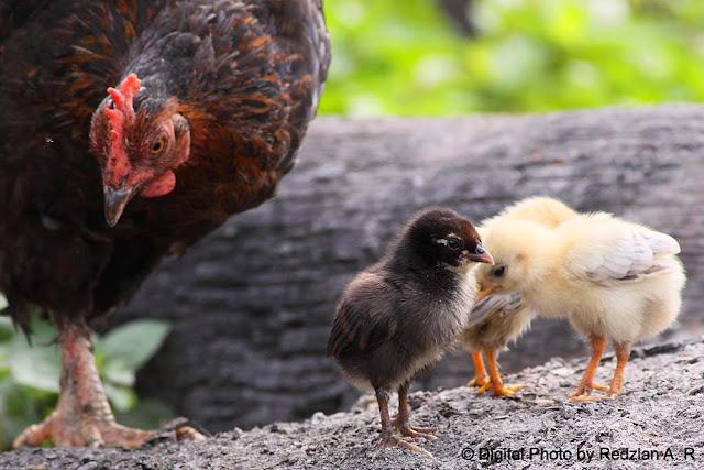 Anak & Ibu Ayam