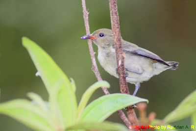 Flowerpecker