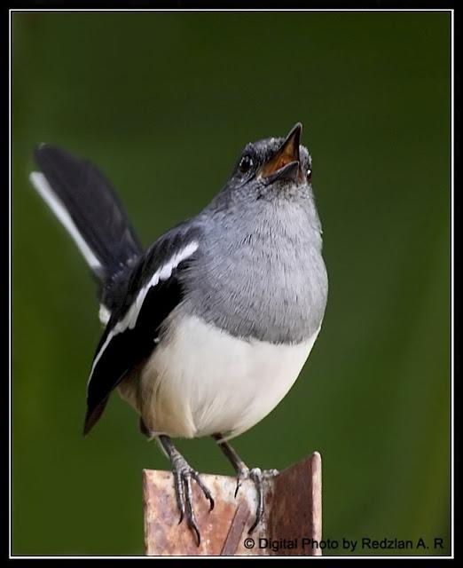 Murai, Magpie Robin - female
