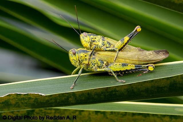 Grasshopper matting